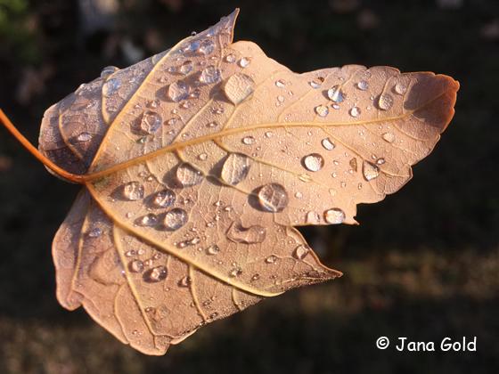 Auf einem herbstlichen Blatt vergrößern Tautropfen die Blattadern.